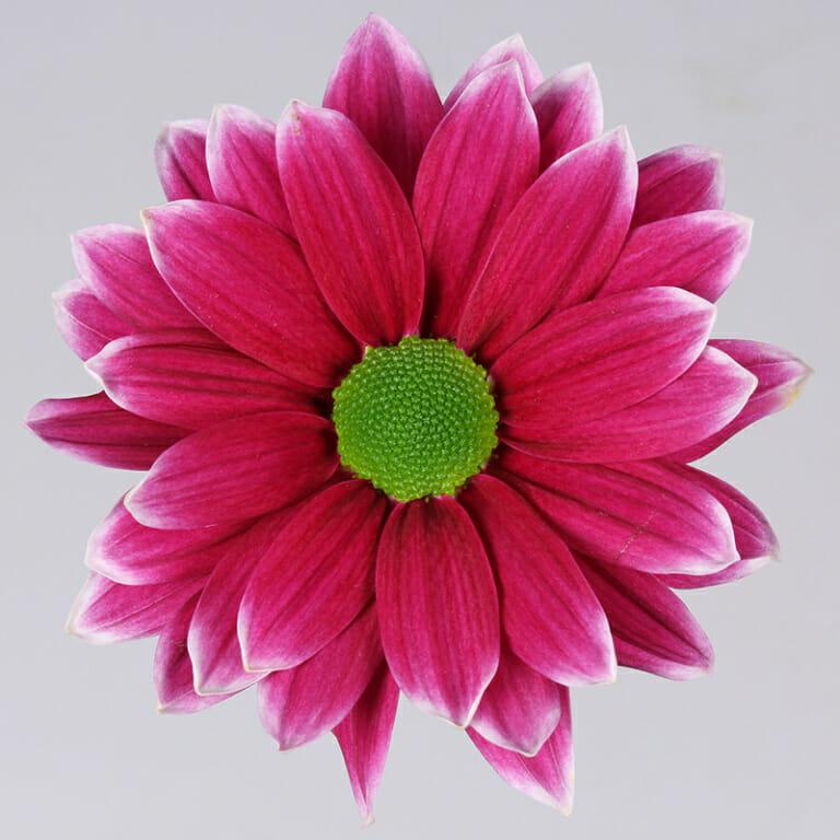 Hardwell - chrysant - Floritec