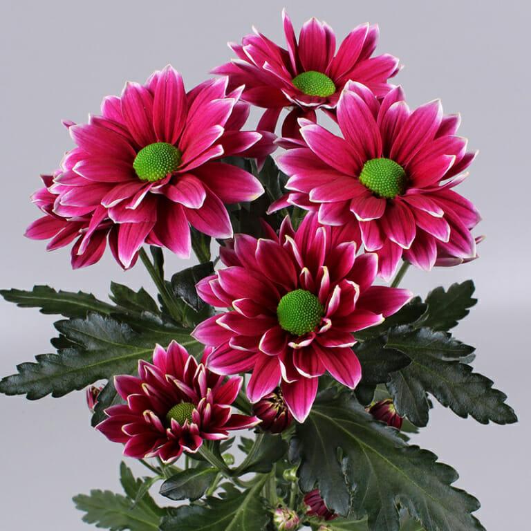 Hardwell - troschrysant - Floritec