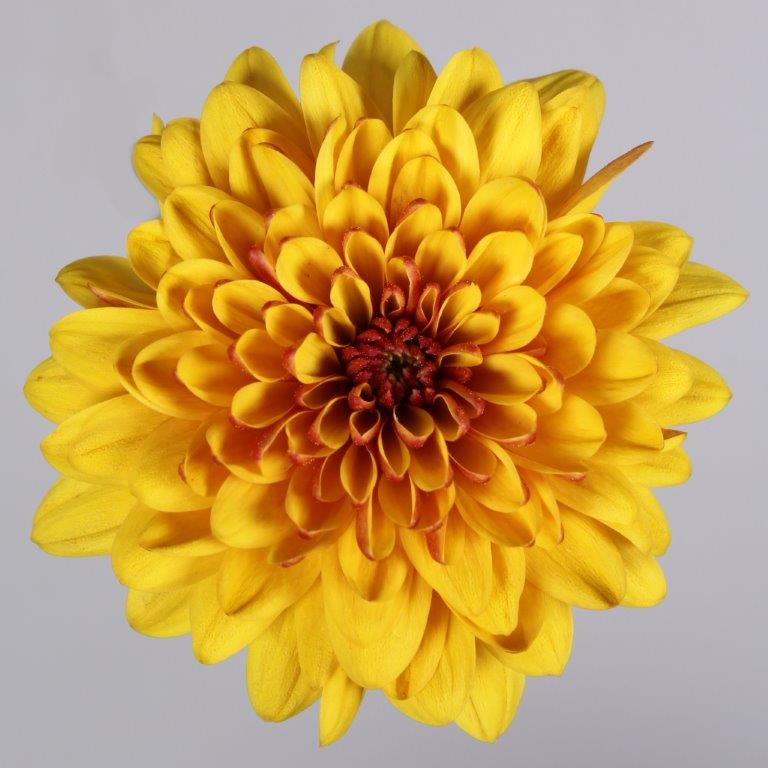 Floritec spray mum - Enjo