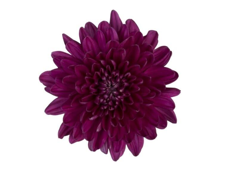Andrea-disbud-paars-chrysant-bloem