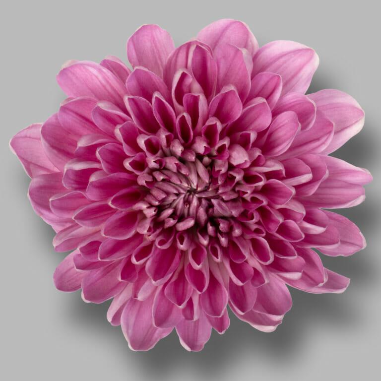 Andrea-Dark-Pink-pluis-roze-chrysant-bloem