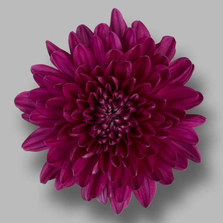 Andrea-pluis-paars-chrysant-bloem