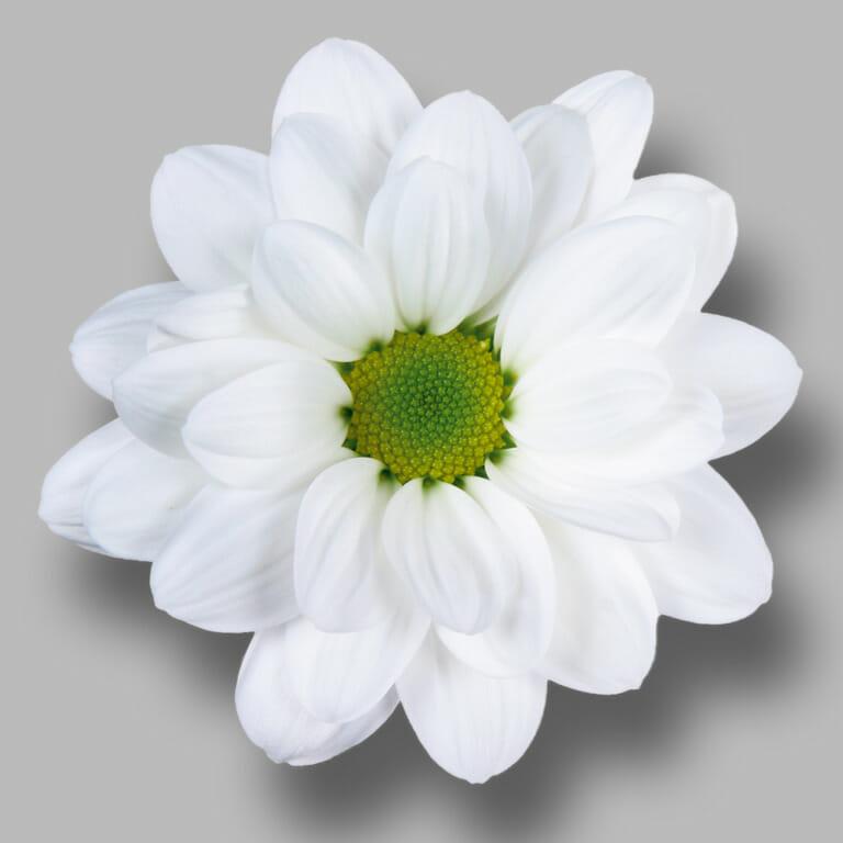 Bacardi-tros-wit-chrysant-bloem
