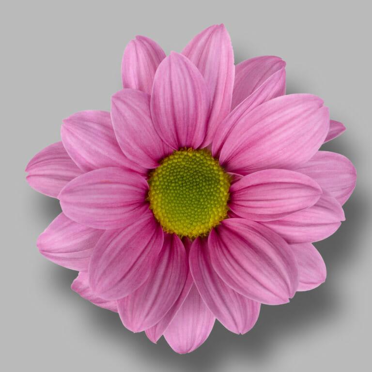 Ballerina's-tros-roze-chrysant-bloem