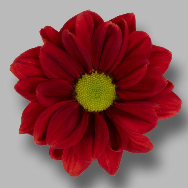 Bullseye-trose-rood-chrysant-bloem