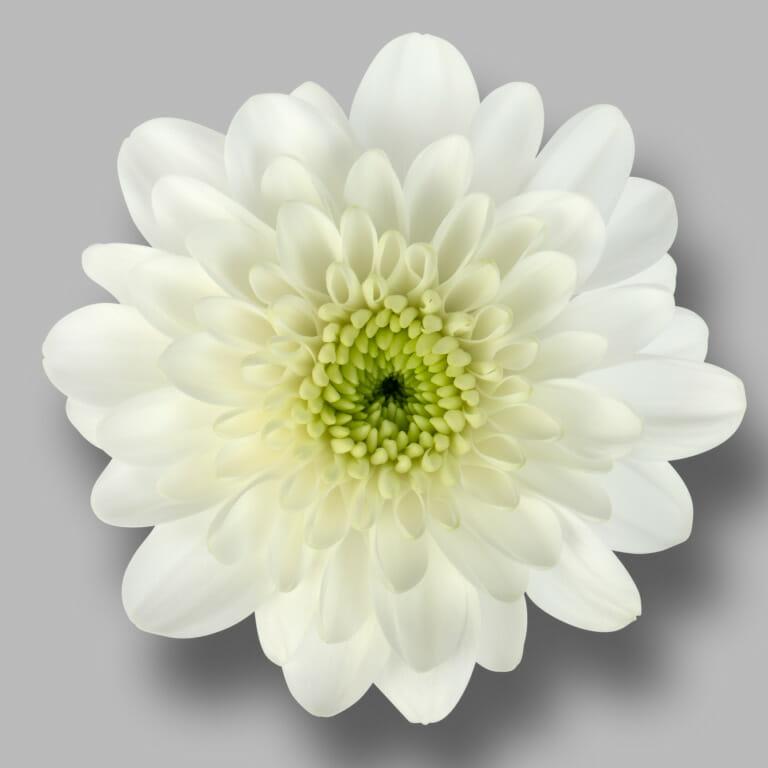 Casino-tros-wit-chrysant-bloem