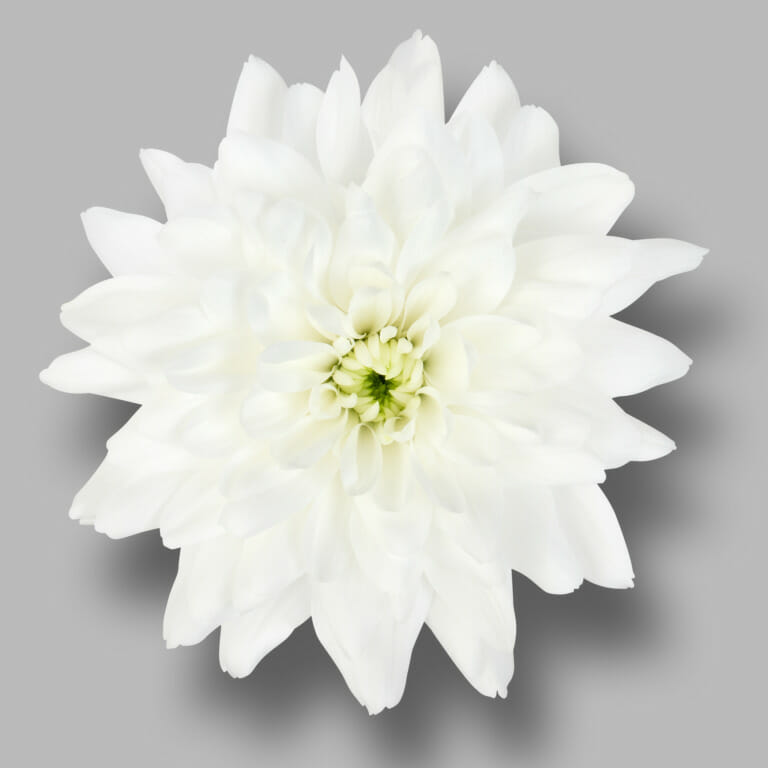 Frozen-tros-wit-chrysant-bloem