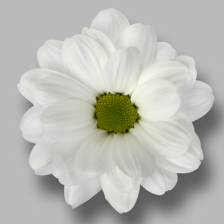 Ilonka-tros-wit-chrysant-bloem