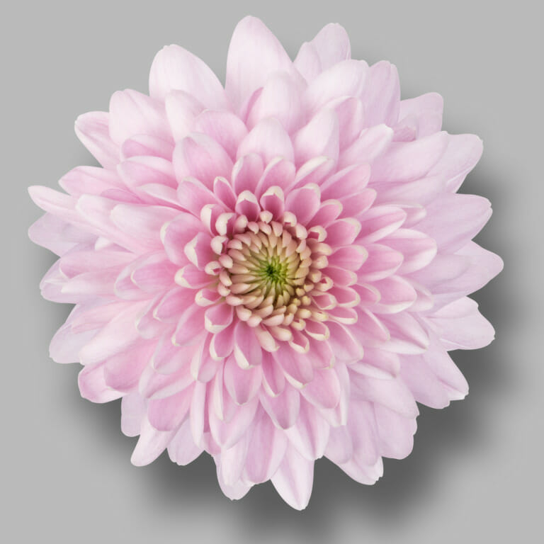 Karma-pink-tros-roze-chrysant-bloem