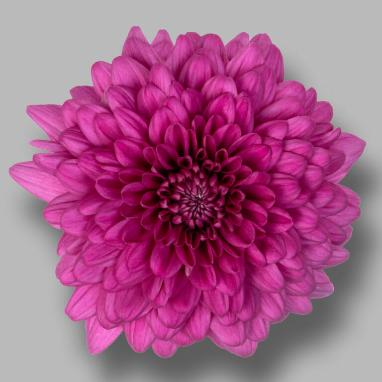 Lamira-pluis-paars-chrysant-bloem