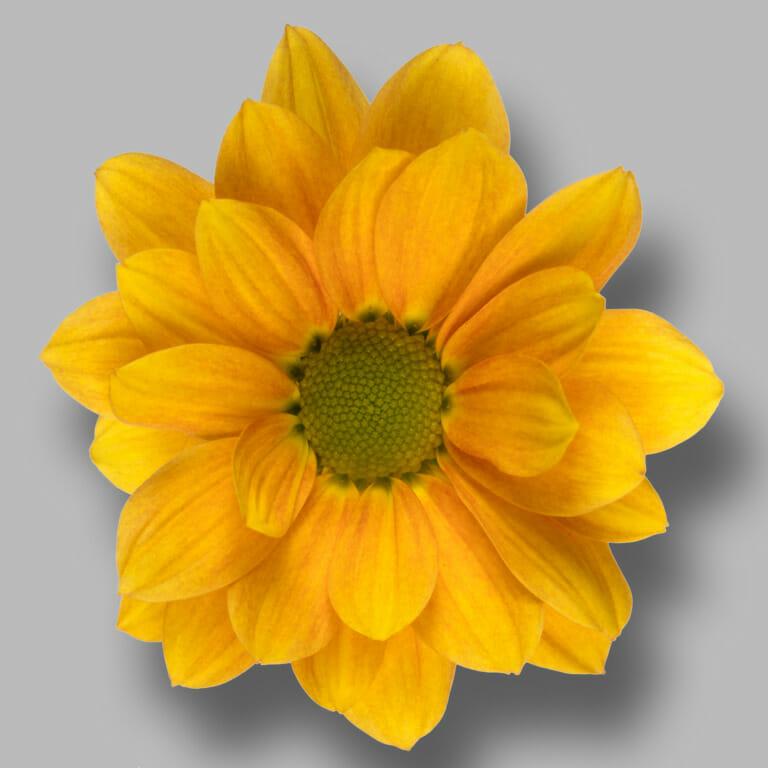 Orangina-tros-oranje-chrysant-bloem