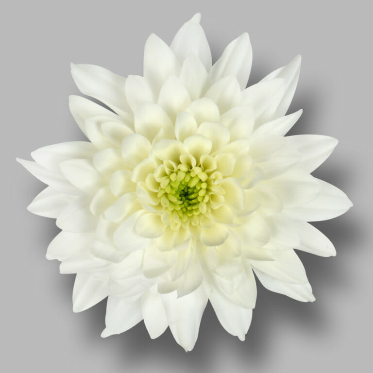 Pastela-cava-tros-wit-chrysant-bloem