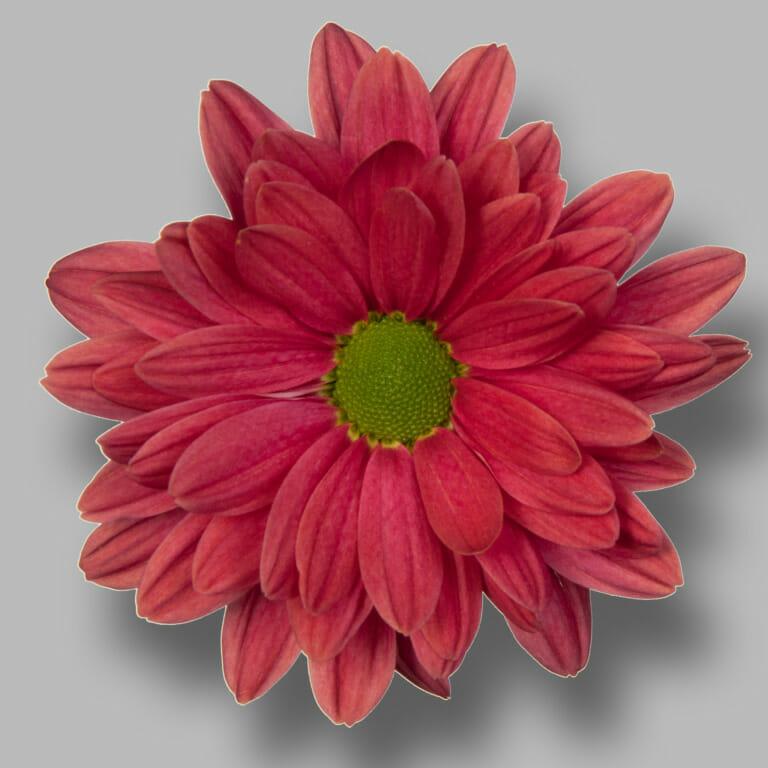 Prada-Coral-tros-rood-chrysant-bloem