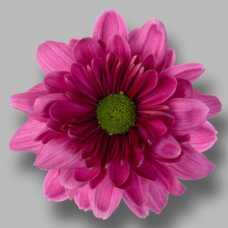 Prada-Purple-tros-paars-chrysant-bloem