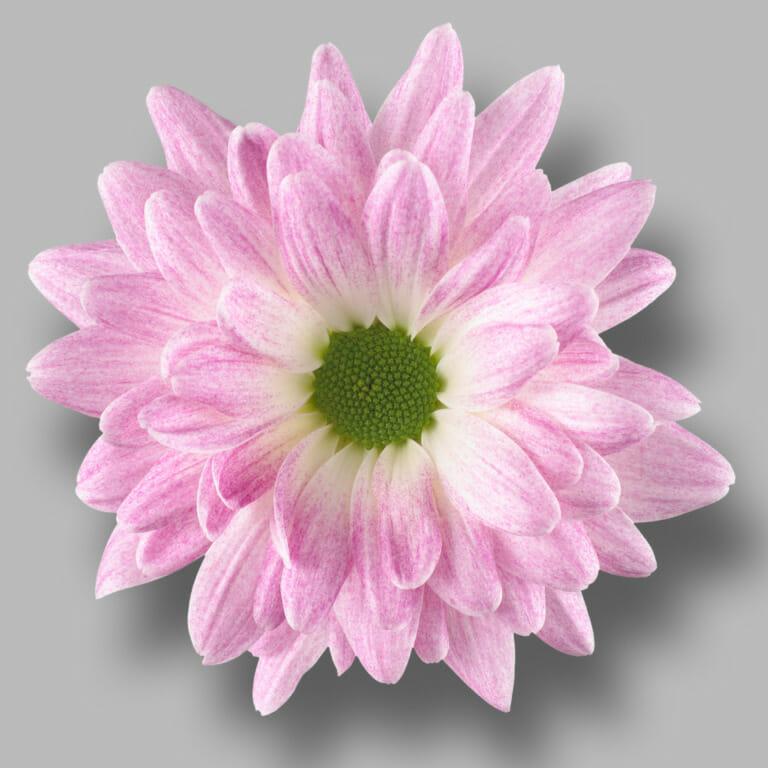 Prada-Sweet-tros-wit-roze-chrysant-bloem