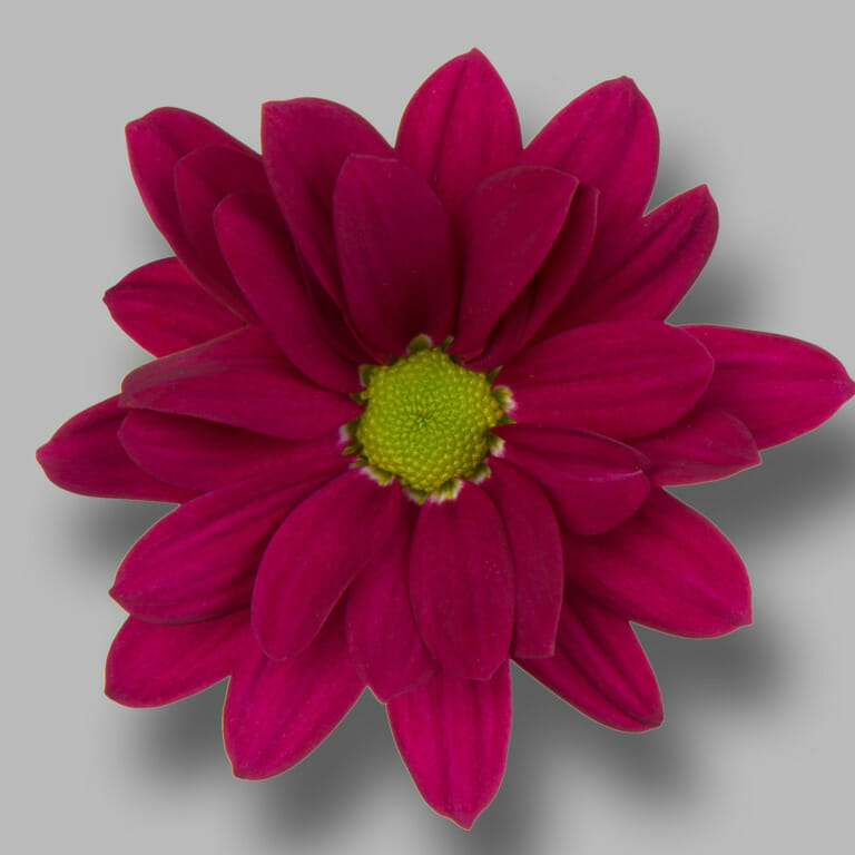 Purple-star-tros-paars-chrysant-bloem