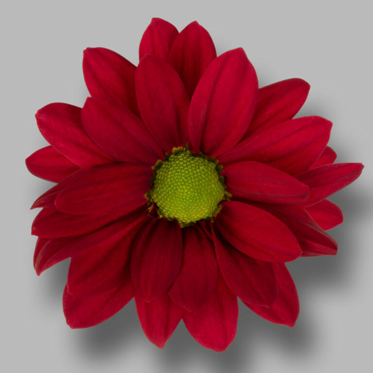 Ruby-Star-tros-rood-chrysant-bloem