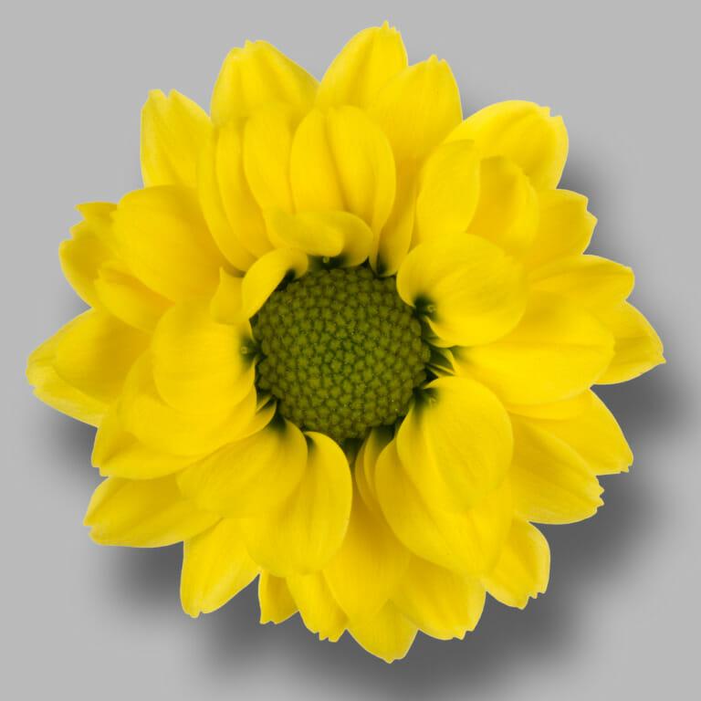 Smiley-santini-geel-chrysant-bloem