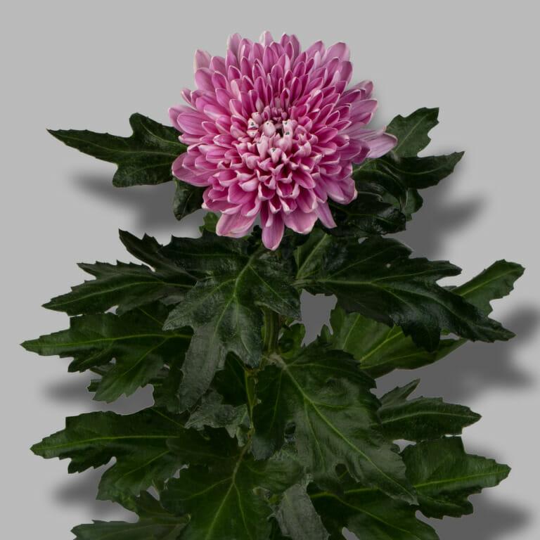 Andrea-Dark-Pink-pluis-roze-chrysant-tak