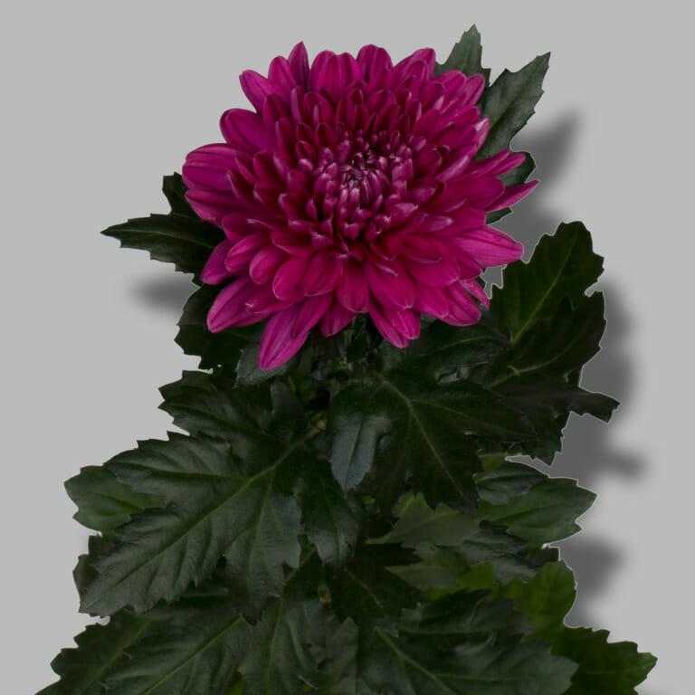 Andrea-pluis-paars-chrysant-tak