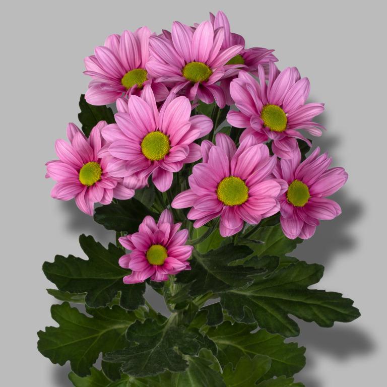 Ballerina's-tros-roze-chrysant-tak