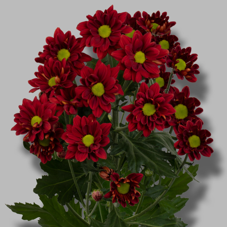 Bullseye-tros-rood-chrysant-tak
