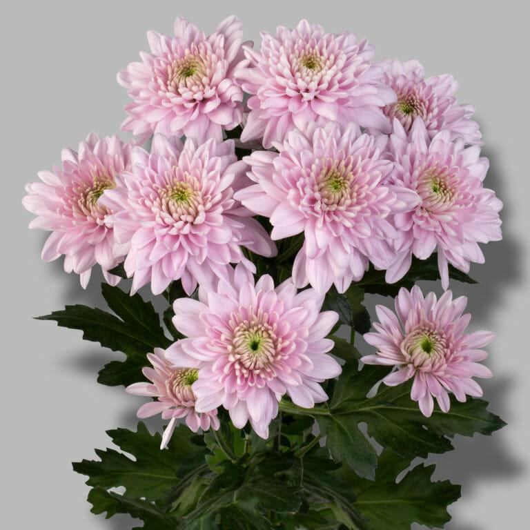 Karma-pink-tros-roze-chrysant