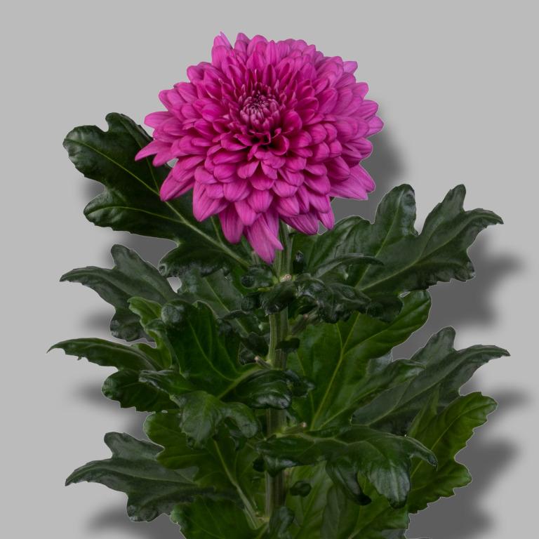 Lamira-pluis-paars-chrysant-tak
