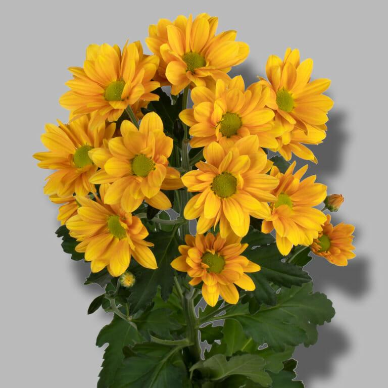Orangina-tros-oranje-chrysant-tak