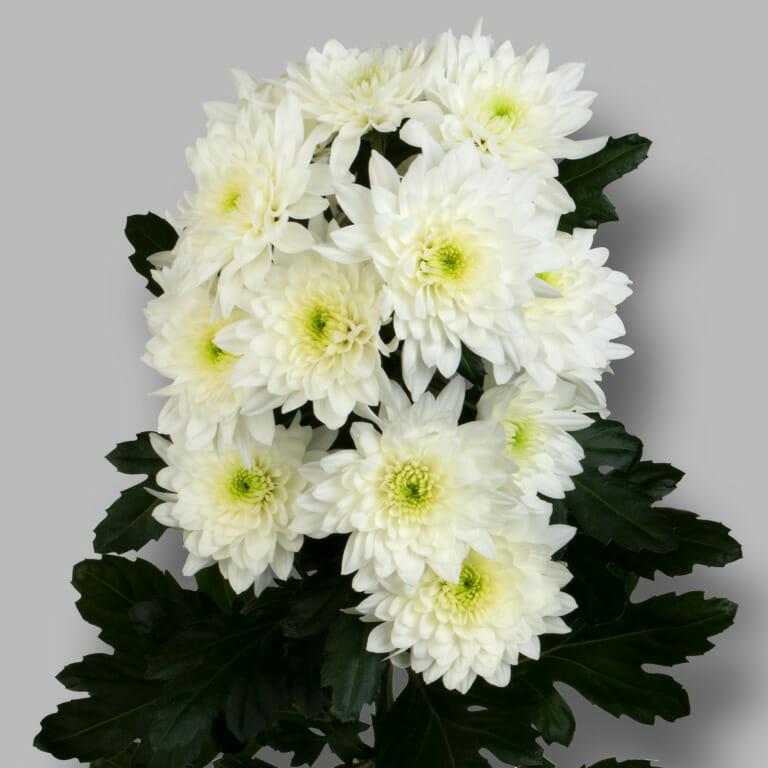 Pastela-Cava-tros-wit-chrysant-tak