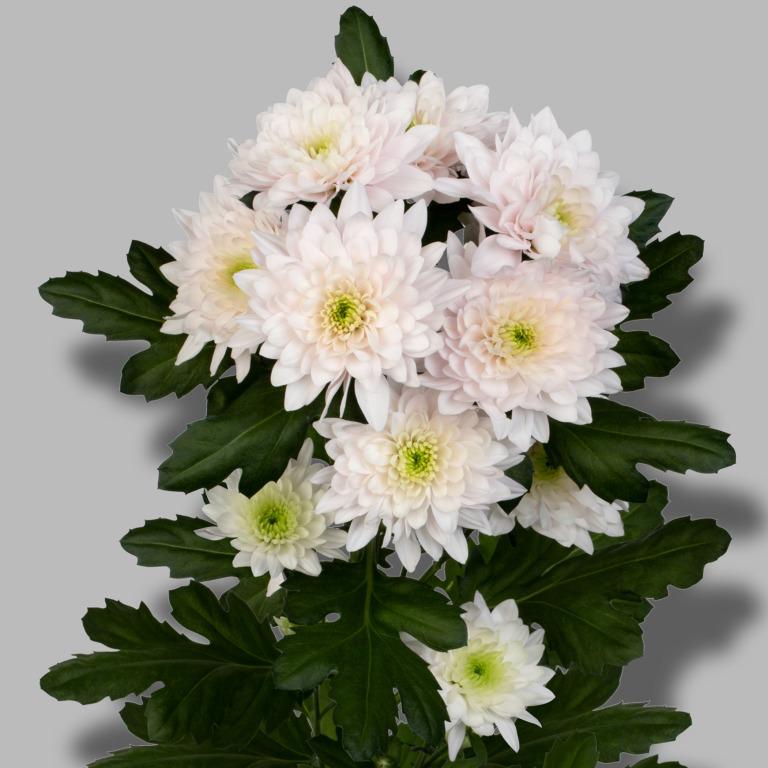 Pastela-rose-tros-roze-chrysant-tak
