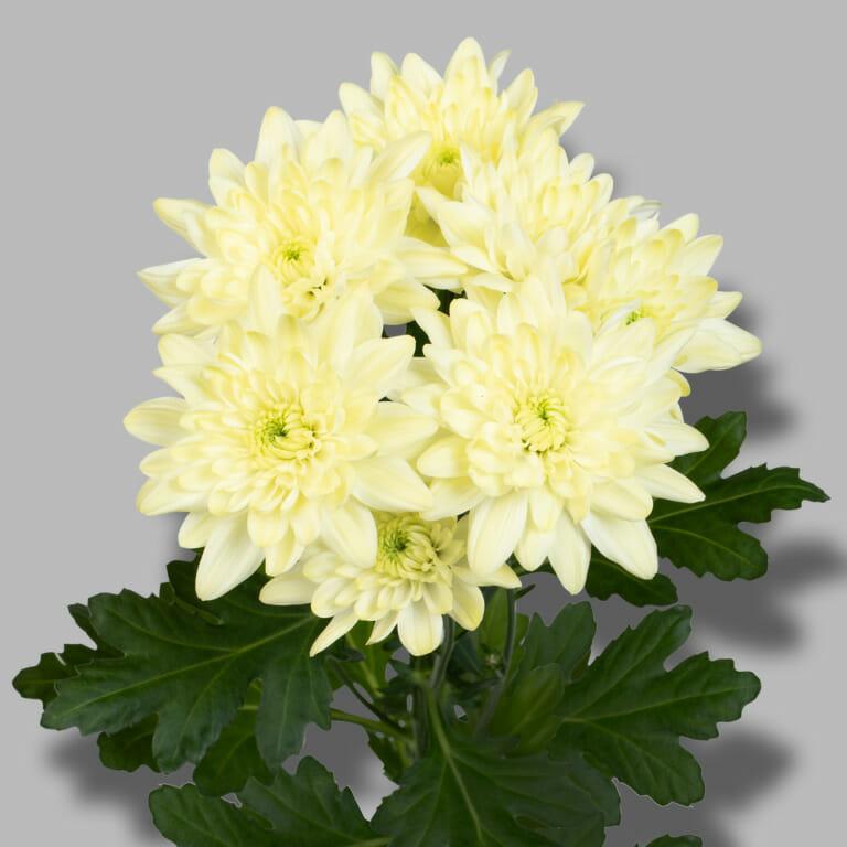 Pina-Colada-Cream-tros-creme-chrysant-tak