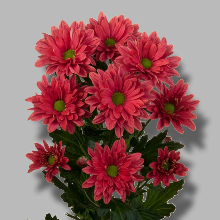 Prada-coral-tros-rood-chrysant-tak-1