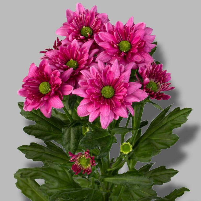 Prada-Purple-tros-paars-chrysant-tak-1