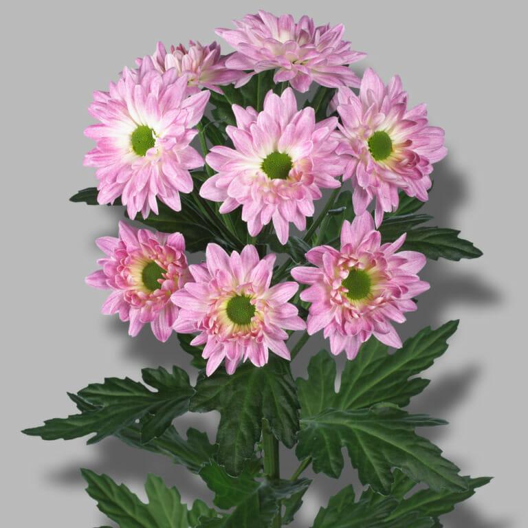 Prada-sweet-tros-wit-roze-chrysant-tak-1