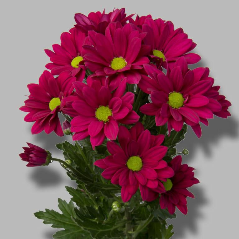 Purple-star-tros-paars-chrysant-tak-1