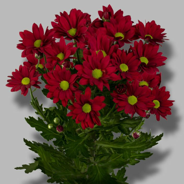 Ruby-star-tros-rood-chrysant-tak