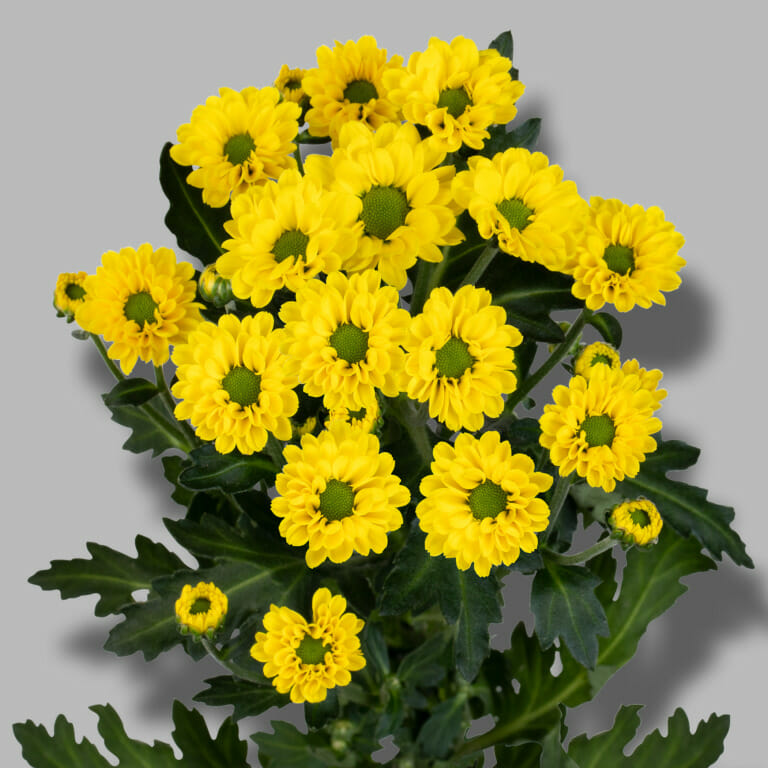 Smiley-santini-geel-chrysant-tak