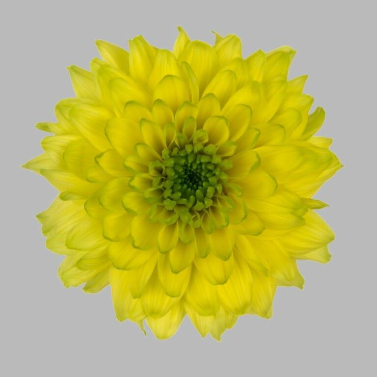Jamaica-tros-chrysant-geel-bloem
