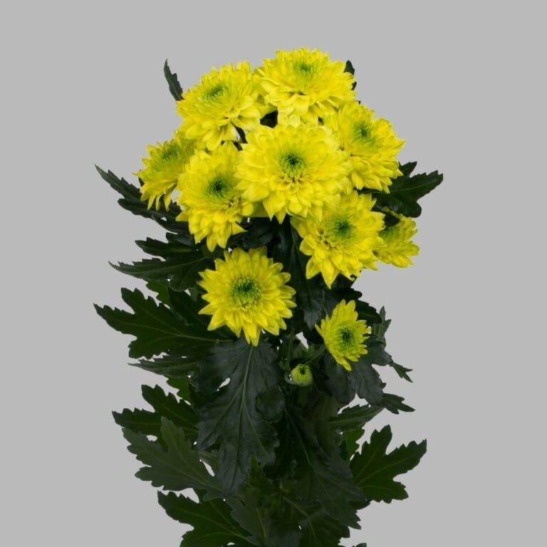 Jamaica-tros-chrysant-geel-tak