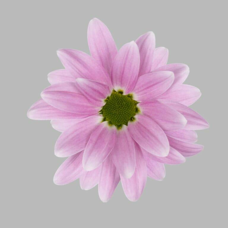 Otis-tros-chrysant-roze-bloem